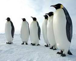 Emperor penguins may have suffered in ice age cold: study